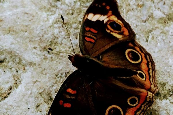Butterfly-Wandering-Dog-Inn-Pelee-Island